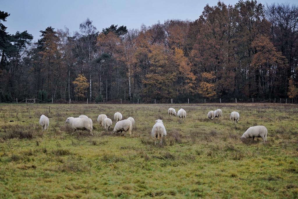 Schafe in der freien Natur - Wiesen und Wälder. Schaffleisch ist gesund und in der Regel unbelastet / © Redaktion FrontRowSociety.net