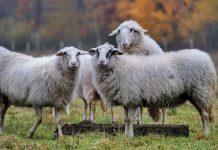 Nachhaltige Schafzucht in Münsterland