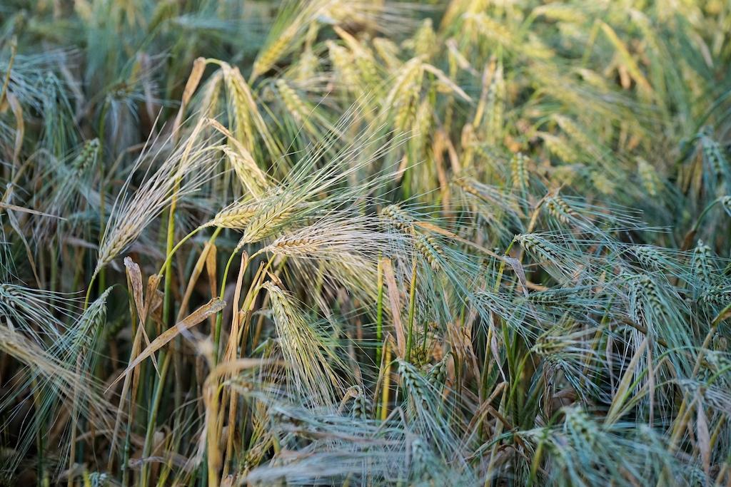 Riesige Flächen bepflanzt mit Weizen sind heute typisch für unsere intensive Landwirtschaft