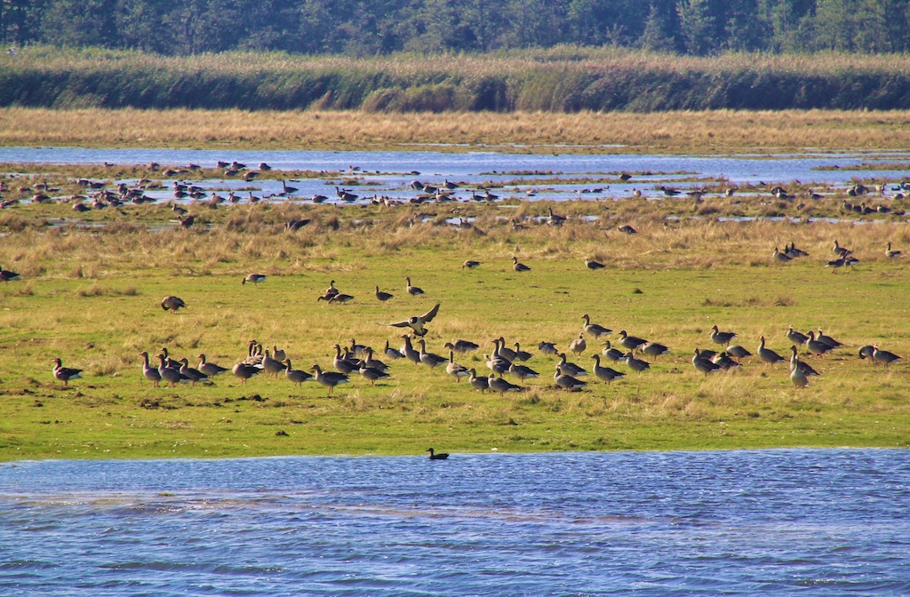 Wildgänse rasten am Dammschen See