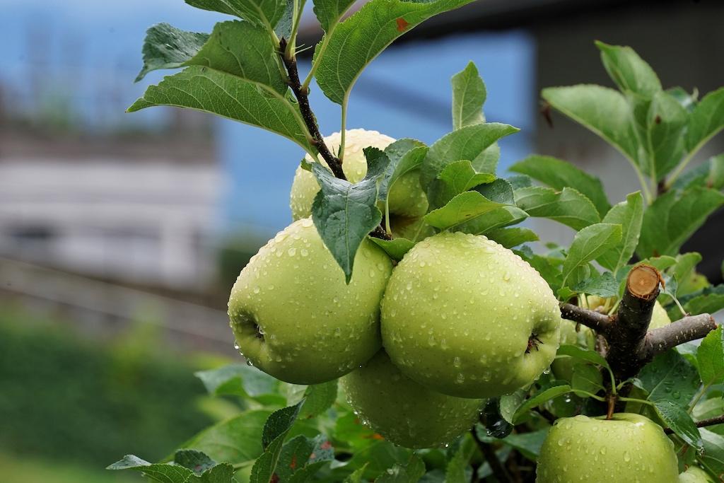 Entlang der Schennastraße, welche Richtung Ortskern führt, wird der Besucher von Apfelbäumen begleitet