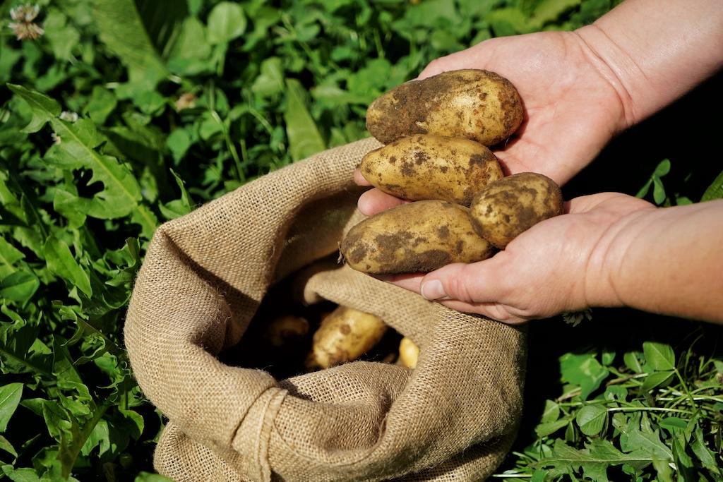 ... und natürlich feldfrische Kartoffeln, welche wir geerntet haben und zu einem feinen Mahl - gemeinsam mit Küchenchef Dominik - verwandelt haben
