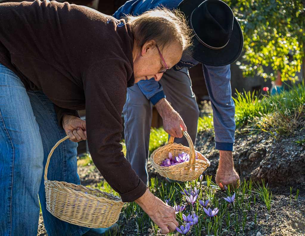Die Safranernte geschieht in Handarbeit / © FrontRowSociety.net, Foto: Georg Berg