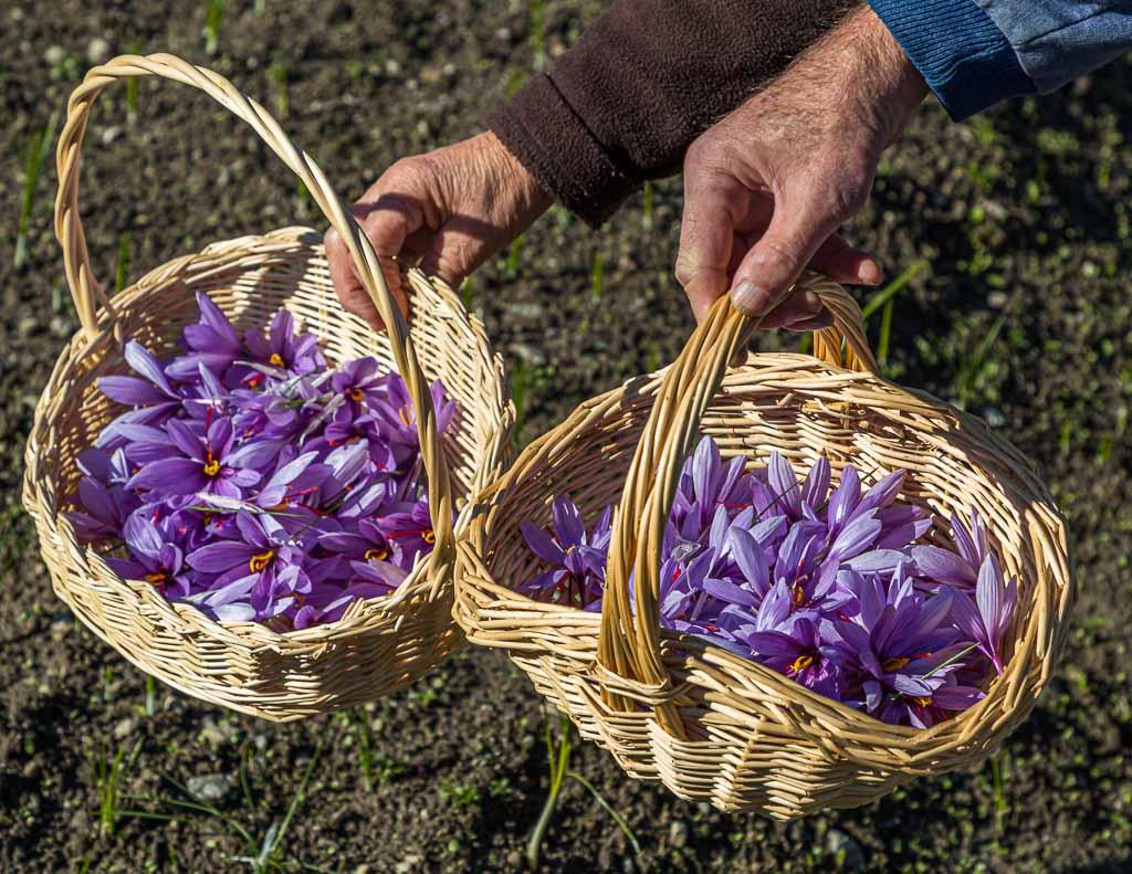 Safran-Blüten werden in kleinen Körbchen gesammelt / © FrontRowSociety.net, Foto: Georg Berg