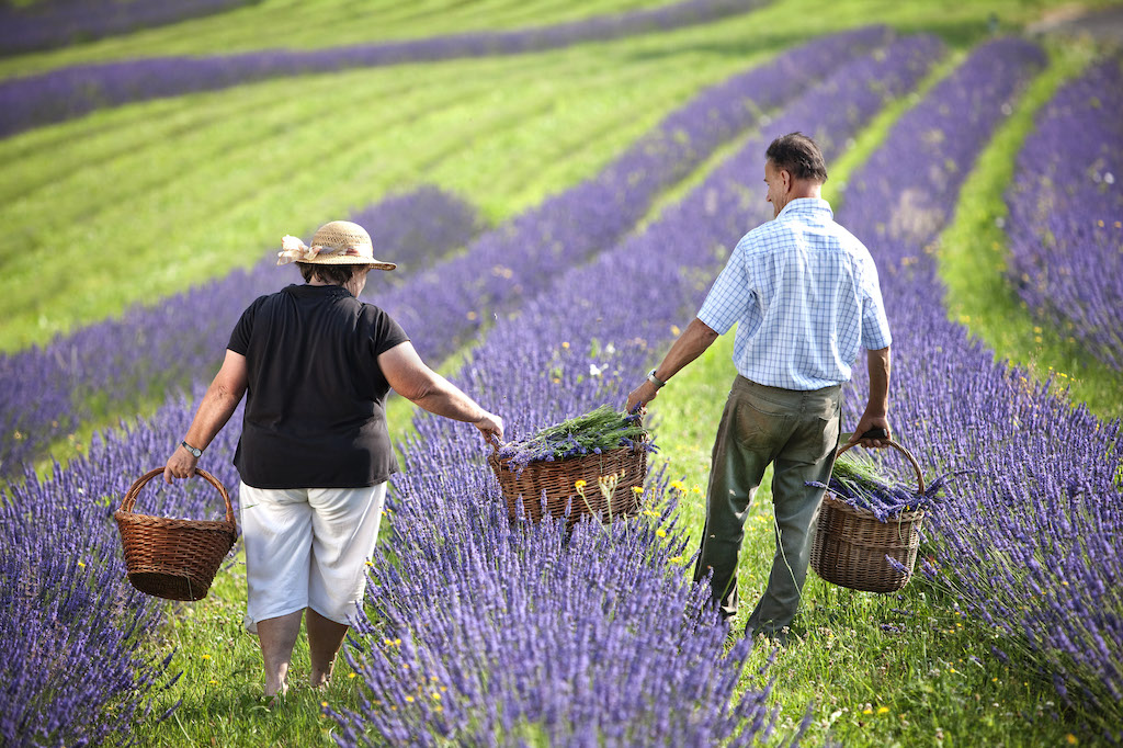 Lavendel Felder in Hülle und Fülle / © Touristmus Vino Cool Harald Eisenberger
