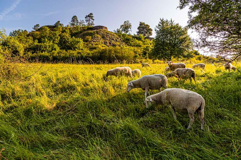 Idylle auf dem Kräuterlehrpfad. Die Schafe als natürliche Flächenpfleger fressen gegen eine Verbuschung des Geländes an. Seitdem sie im Einsatz sind, ist der Bestand der giftigen Lupinen stark zurückgegangen / © FrontRowSociety.net, Foto: Georg Berg