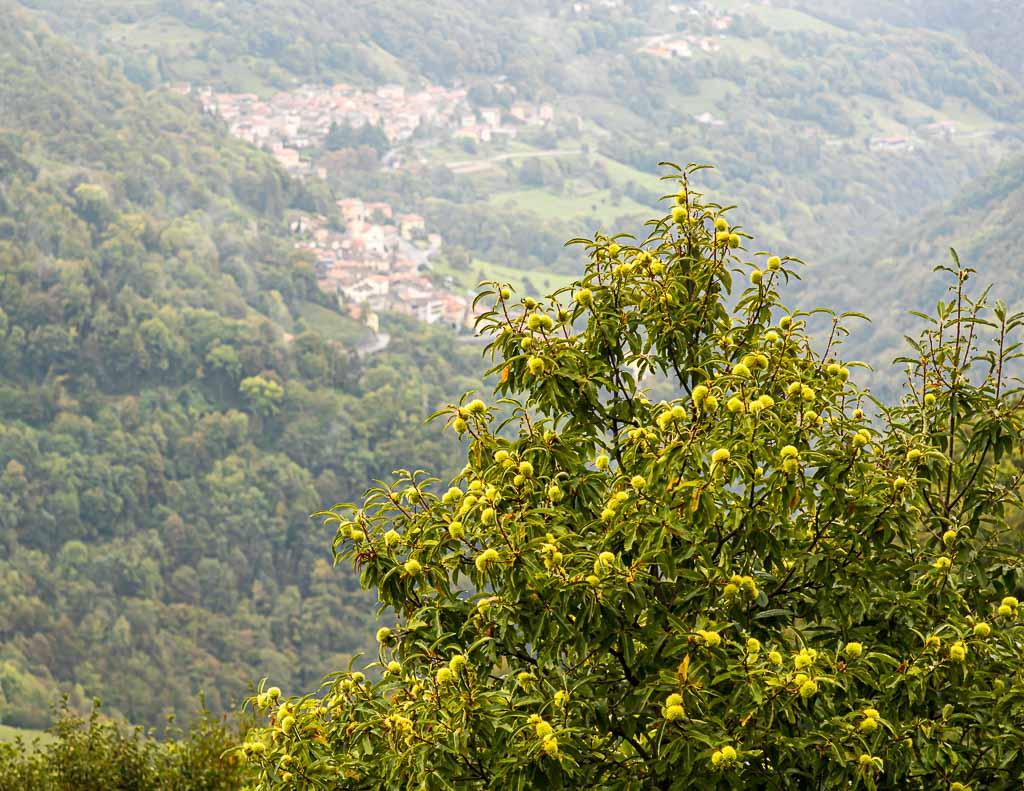 Kastanienbäume im Valle di Muggio. Noch heute wird jährlich ein Kastanienfest gefeiert. Früher waren Maronen ein Hauptnahrungsmittel der armen Landbevölkerung / © FrontRowSociety.net, Foto: Georg Berg