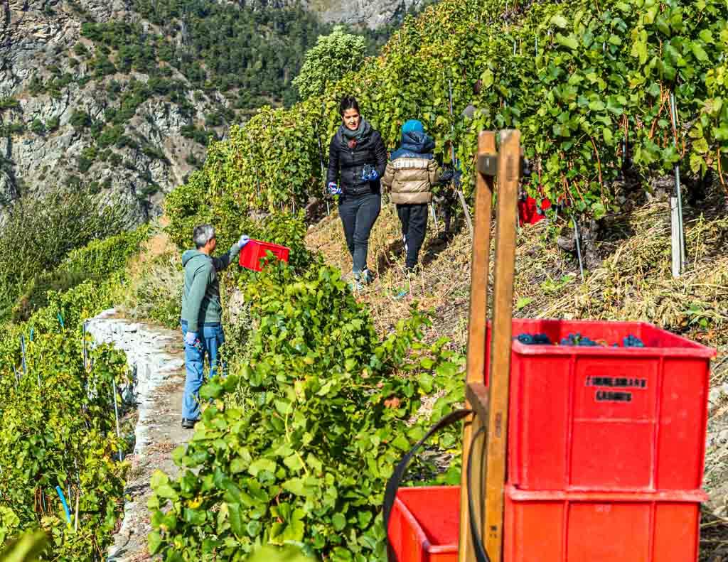 Ende September ist Weinlese in den kleinen Parzellen. Dazu kommen die Familien zusammen und jeder hilft mit. Hier wird gerade Pinot Noir geerntet / © FrontRowSociety.net, Foto: Georg Berg