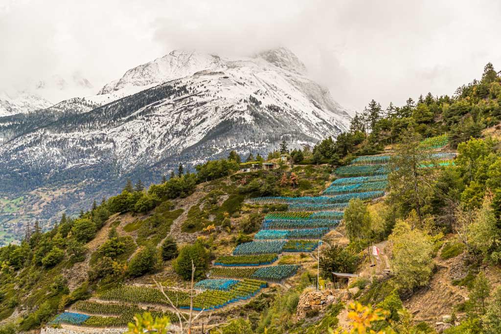 Es ist Ende September und die letzten Tage der Weinernte. Auf den Bergen liegt erster Neuschnee. Die Trauben werden mit Netzen geschützt / © FrontRowSociety.net, Foto: Georg Berg