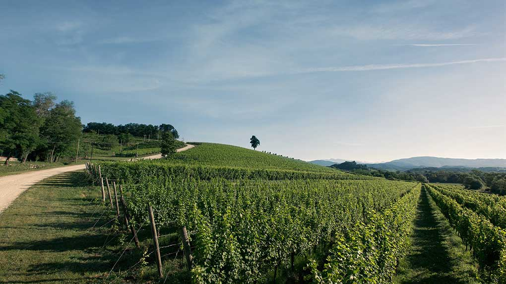 Die sanfte Hügellandschaft im Friaul. Hier die Weinberge des Weinguts Canus / Foto: ItalCam (Italienische Handelskammer)