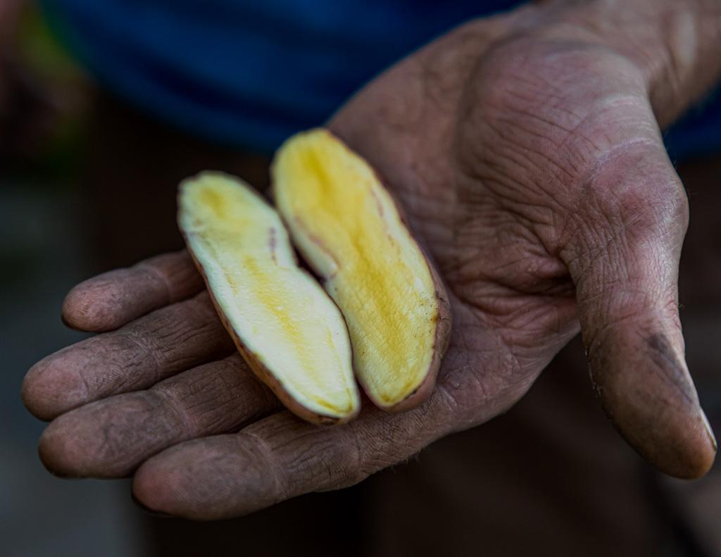 Die Kartoffelsorte Bamberger Hörnla ist länglich und leicht gekrümmt. Sie kann ihre Abstammung von alten südamerikanischen Kartoffelsorten nicht verheimlichen. Geschätzt wird sie wegen des nussigen Geschmacks / © FrontRowSociety.net, Foto: Georg Berg