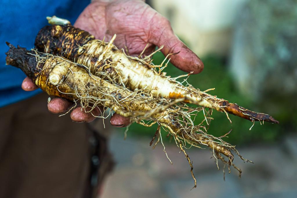 Sebastian Niedermaier konfrontiert seine Kunden auch gerne mit neuen Gemüsesorten. Hier Haferwurzel, die eine Alternative zur Schwarzwurzel darstellt / © FrontRowSociety.net, Foto: Georg Berg
