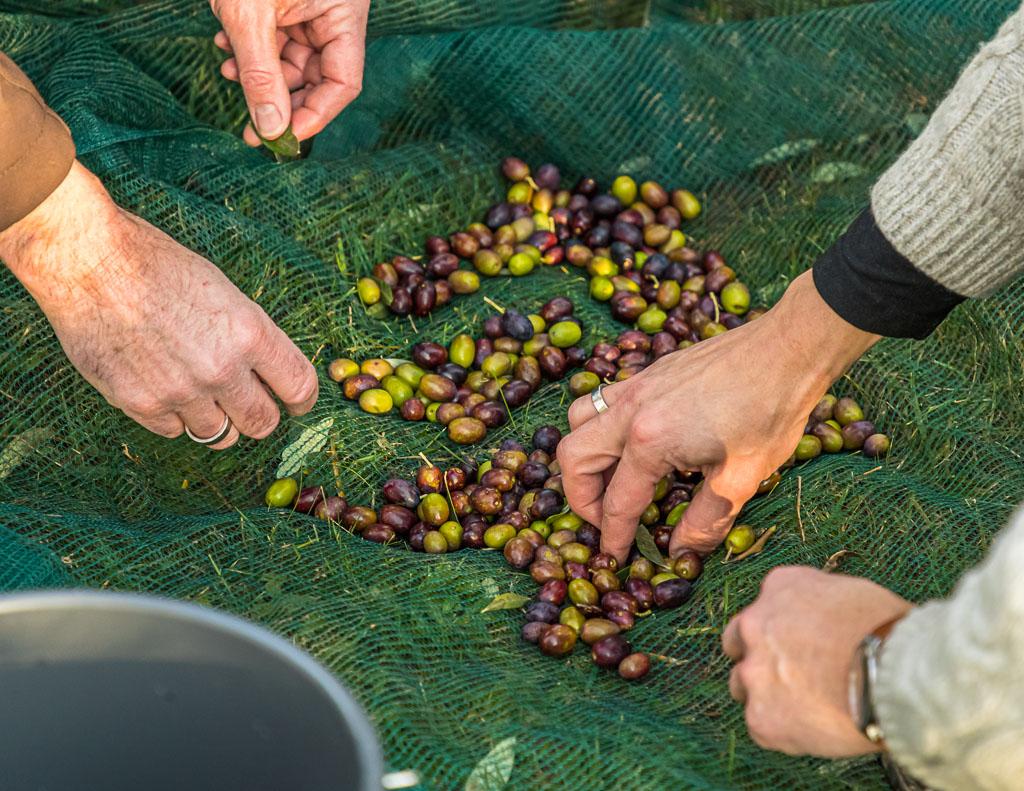 Das Ernteergebnis hat 2020 alle Erwartungen übertroffen. 2019 wurde die gesamte Ernte von 75 kg noch eingelegt und somit zu Tafeloliven. 2020 soll das erste Mal auch Öl aus der Ernte entstehen / © FrontRowSociety.net, Foto: Georg Berg