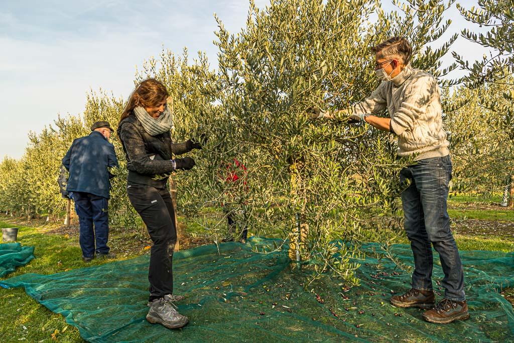 Olivenernte in Pulheim bei Köln. Unter den Erntehelfern, allesamt Freunde aus der Nachbarschaft ist auch die ausgewiesene Olivenöl-Expertin Carmen Sanchez-Garcia / © FrontRowSociety.net, Foto: Georg Berg