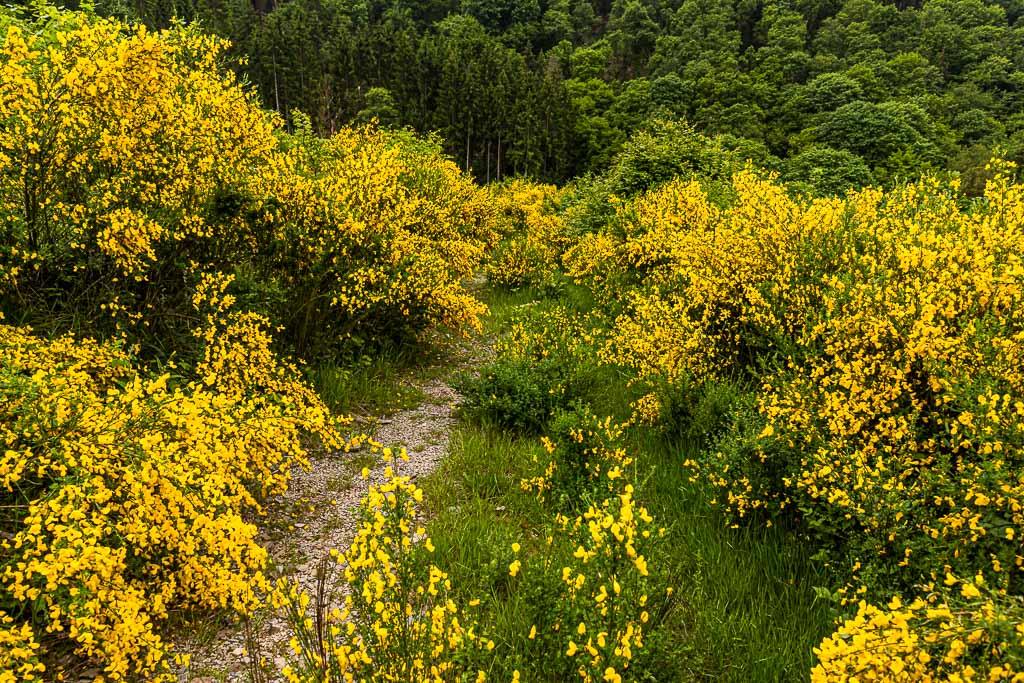 Blühender Ginster säumt im Juni an vielen Stellen den Weg entlang des Escapardenne Lee Trails / © FrontRowSociety.net, Foto: Georg Berg