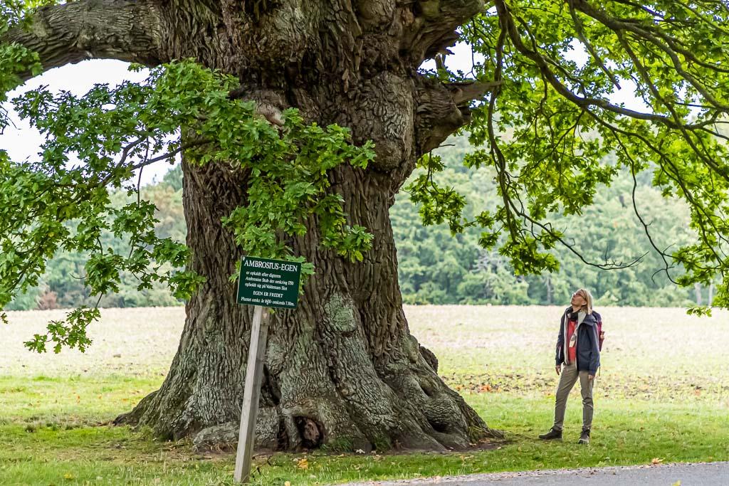 Die Ambrosius Eiche ist über 500 Jahre alt. Ihren Namen hat sie dem Dichter Ambrosius Stub zu verdanken / © FrontRowSociety.net, Foto: Georg Berg