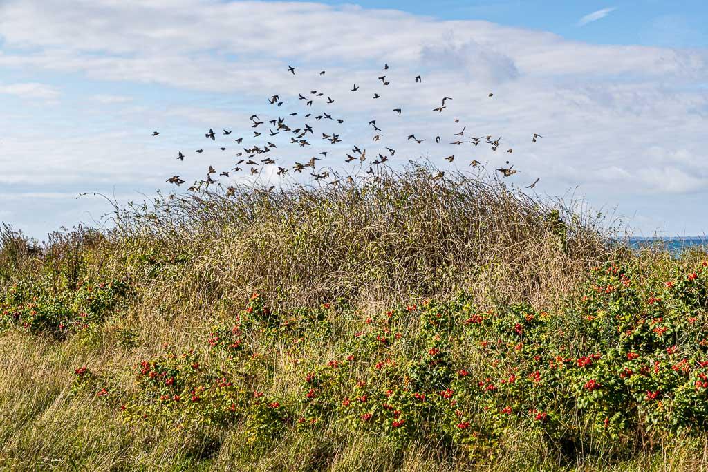 Formationsflug an der Küste. Vögel finden im Herbst besonders viel Nahrung in den Hecken voller Beerenfrüchte / © FrontRowSociety.net, Foto: Georg Berg