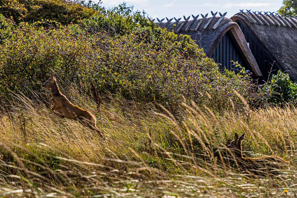 Rehe und Reetdächer direkt am Wanderweg zwischen Lohals und Tranekær / © FrontRowSociety.net, Foto: Georg Berg